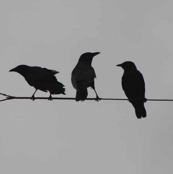 Crows On A wire10 by 10 Fine Art Photo by TahGroenPhotography, $35.00
