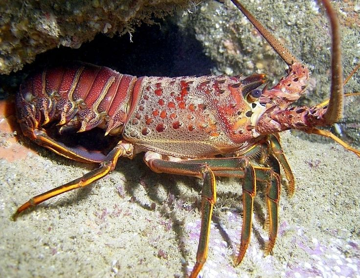 Spiny Lobster Panulirus Argus Lobsters Get Their Name From The Forward Pointing