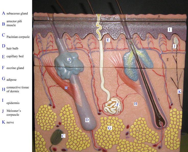 Skin Model Labeled Bing Images Biology Pinterest Med School