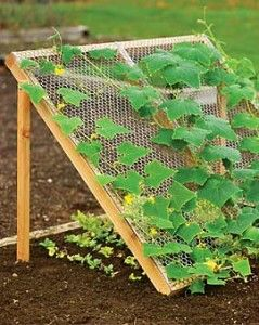 "Cucumbers climb a chicken wire ""trellis"" above while lettuce grows beneath. Great idea to maximize small garden spaces."