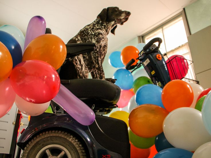 A #balloon a day - day 93 (#Tommy, #Germanshorthairedpointer)