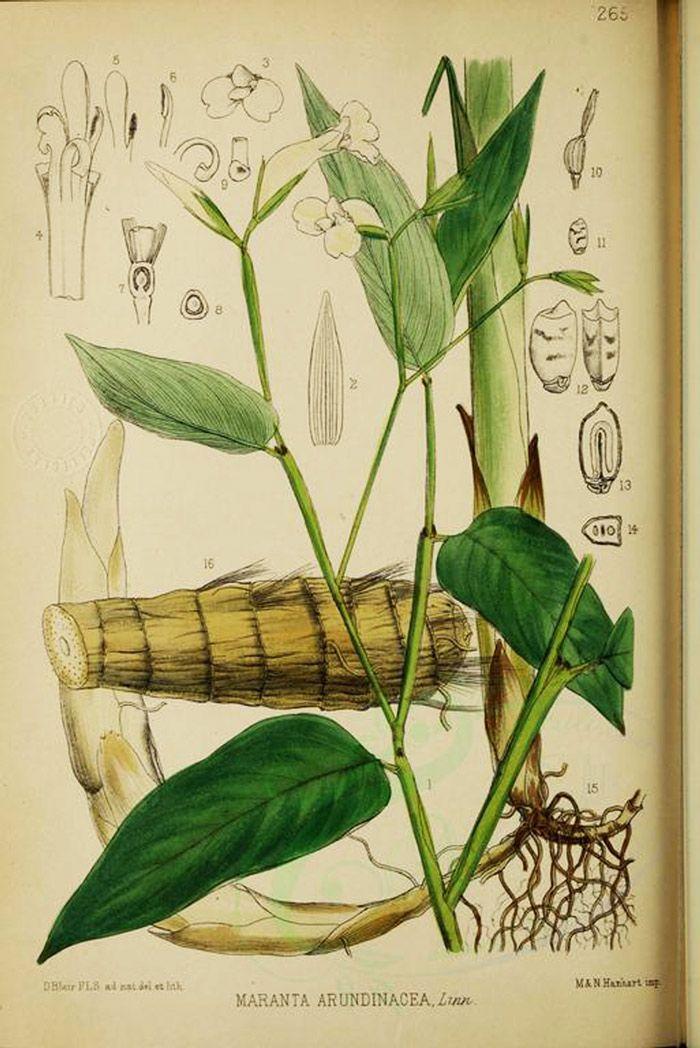 78 besten BLUMEN - CALATHEA KORBMARATHE Bilder auf Pinterest - tropische pflanzen im garten