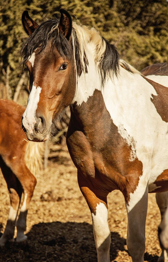 A picture of one of the wild horses at Kingston a Tobiano for which our Tobiano Pinot Noir is named.