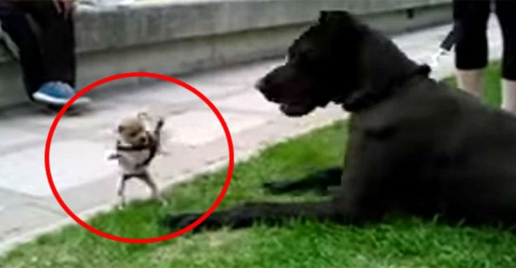 Fearless Chihuahua Takes On Great Dane In Most Endearing Attack Of All Time! – USA PitBulls – dogs for smart people