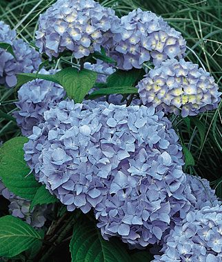 """Hydrangea, Nikko Blue.  Classic blue and cold hardy.  6"""" mop head-type flowers bloom in July-August. Azure blue color is deeper in acid soils; in alkaline soils, flowers are pink. Shrubs add substance to perennial beds and are ideal companions for large trees. Full or partial sun."""