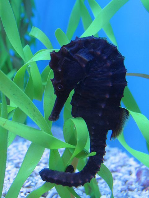 hippocampus seahorse: Sea Horses, Sea Life, Seahorses, Blue, Hippocampus Seahor, Black Beautiful, Animal, The Sea, Under Sea