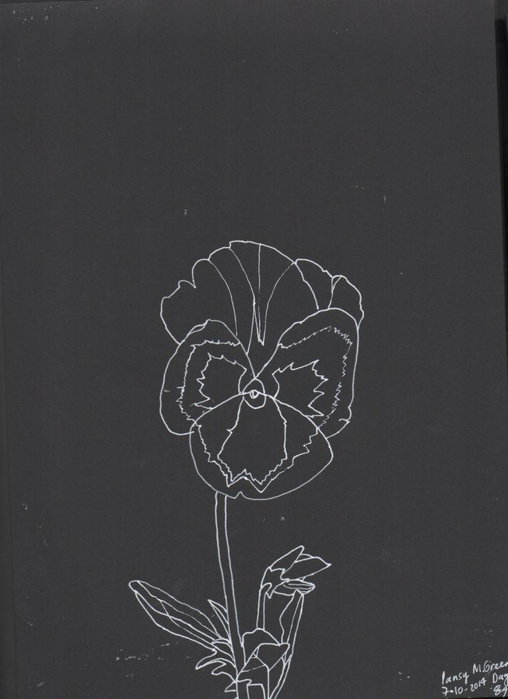 Pansy, line drawing, Marita Green