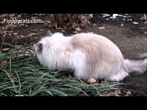 Ragdoll cat go outside