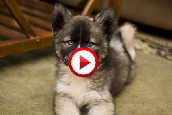 3.5 week old husky practices howling Video #animals, #dogs, #funny, https://facebook.com/apps/application.php?id=106186096099420