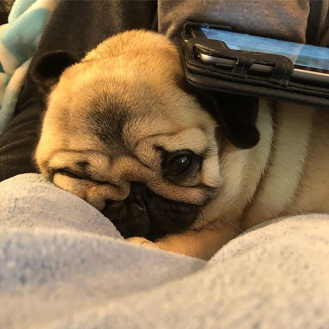 I M An Ipad Rest Among Other Things Pug Pugs Puggie Puglife
