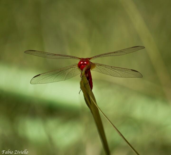 Inseguendo una libellula in prato . . .