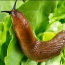 Plaga de babosas o limacos y de caracoles, evitarlas y combatirlas de forma ecológica ecoagricultor.com