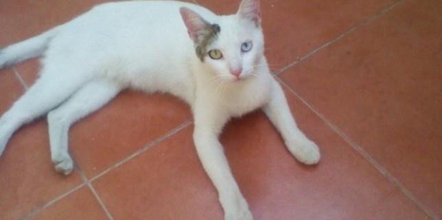 Kokito, gato blanco en adopción, con heterocromía (ojos de diferente color)  http://www.adoptame.org.mx/kokito/