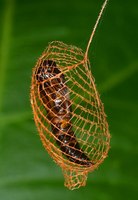 65 best images about Chrysalis on Pinterest | Insect ...