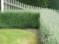 Corokia Geentys Green Hedge