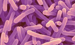 """Probiotic bacteria may aid against anxiety and memory problems: """"By their very nature, probiotics are safe bacteria, and if we can delineate those that have benefits for mental health, that would be a major advance for neuroscience and psychiatry. My hope is that within the next five years we'll have a probiotic or two on the market that will be effective for treating mild forms of anxiety and depression,"""" he added."""""""