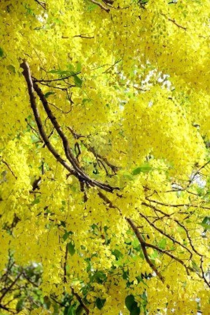 how to grow cassia fistula tree