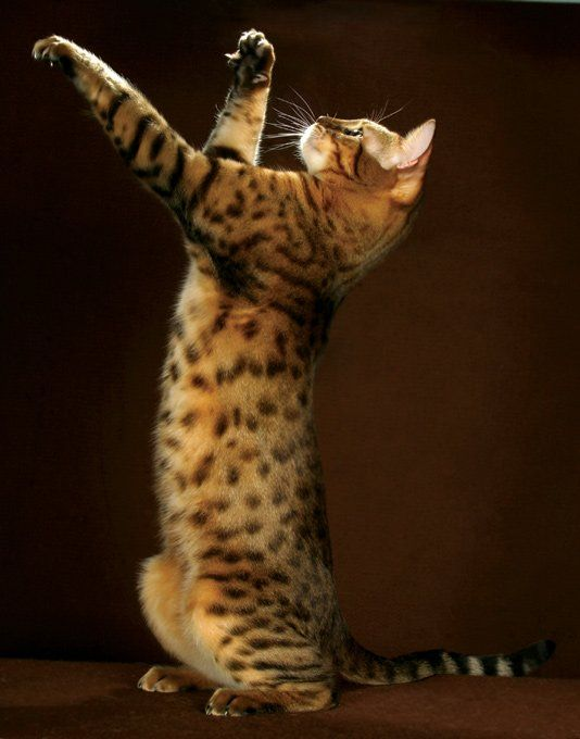 See more Health problems in Bengal Cats