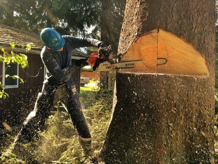 #Treeremoval #directionaltreefelling #notchcut #hingewood #treerisk #sitkaspruce  #tallerthan100feet #stihl #chainsaw #chaps #safety #Tagline #Arborist #Rivendelltree