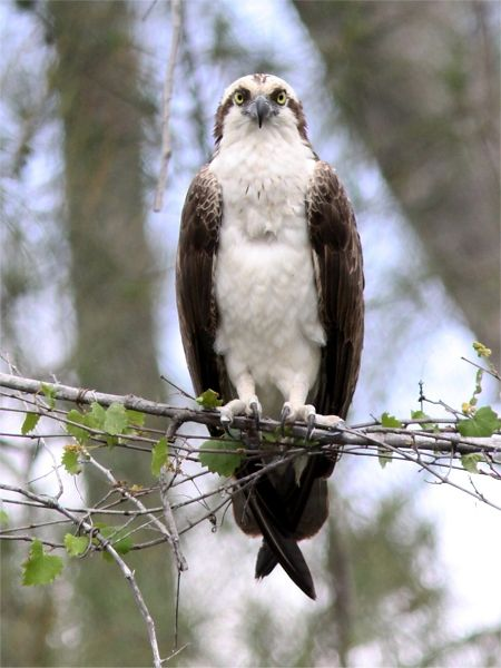 Osprey naples florida florida birds pinterest for Fish hawk bird