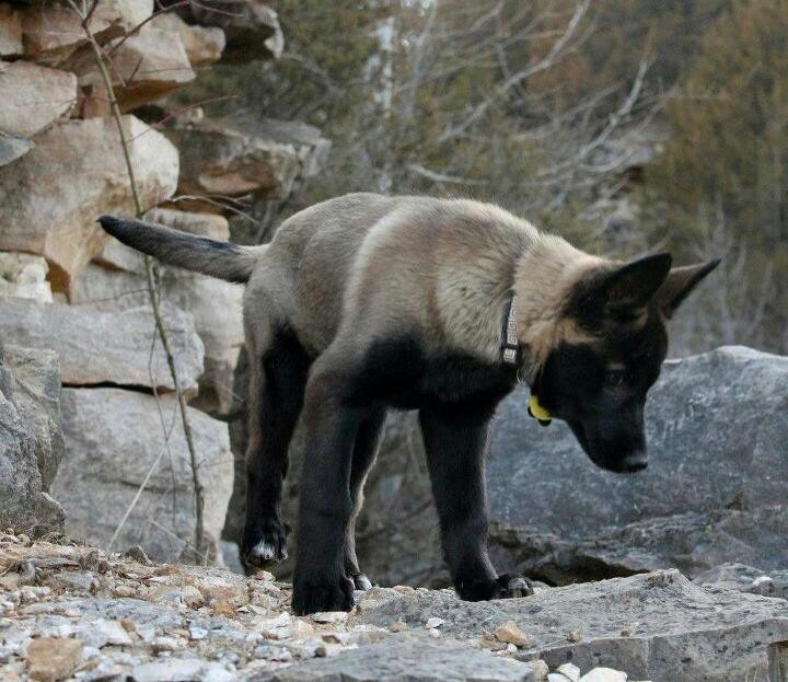 1000 ideas about harzer fuchs na pinterestu fuchs haustier fuchshund a katzenern hrung. Black Bedroom Furniture Sets. Home Design Ideas