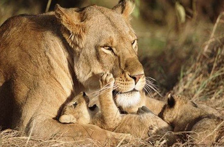 pictures of female lions and their cubs lioness with very dark colored rosettes and welcomed. Black Bedroom Furniture Sets. Home Design Ideas