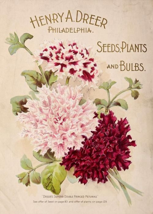 'Dreer's Superb Double Fringed Petunias.' Back cover illustration from 'Dreer's Garden Calendar 1898.' Henry A. Dreer. Philadelphia. Seeds, Plants and Bulbs. U.S. Department of Agriculture, National Agricultural Library archive.org