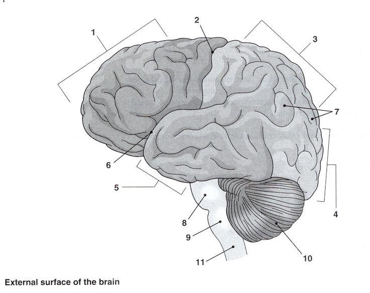 A&P image by Stephanie Hillis Nervous system anatomy