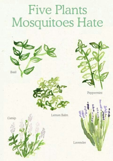 Anti Mosquito Plants Bugs Mosquitoes Mice Repellent