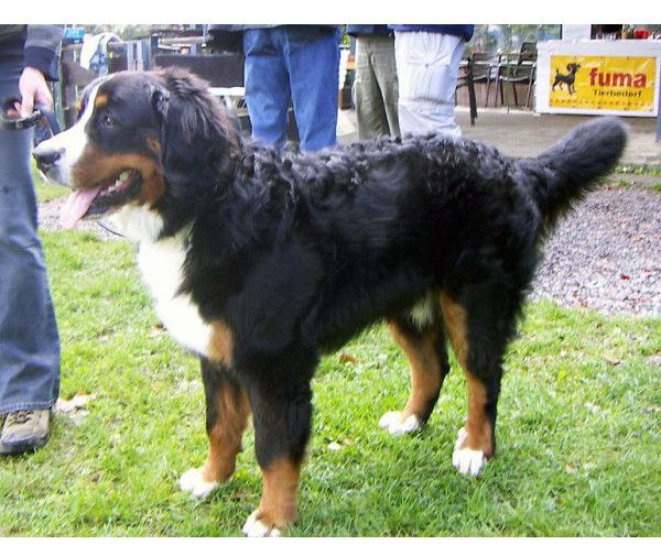 Perro de Montaña Bernés