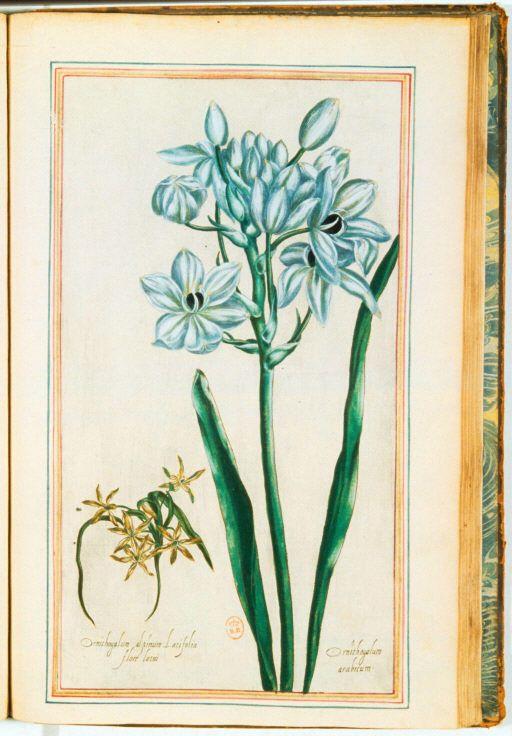 img/plantes jardin henry IV/ornithogalum-Ornithogalum alpinum latifolia flore luteo. Ornithogalum arabicum.jpg