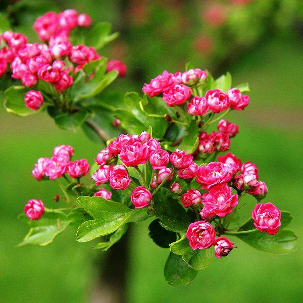 Hawthorn Paul's Scarlet - Barcham Trees