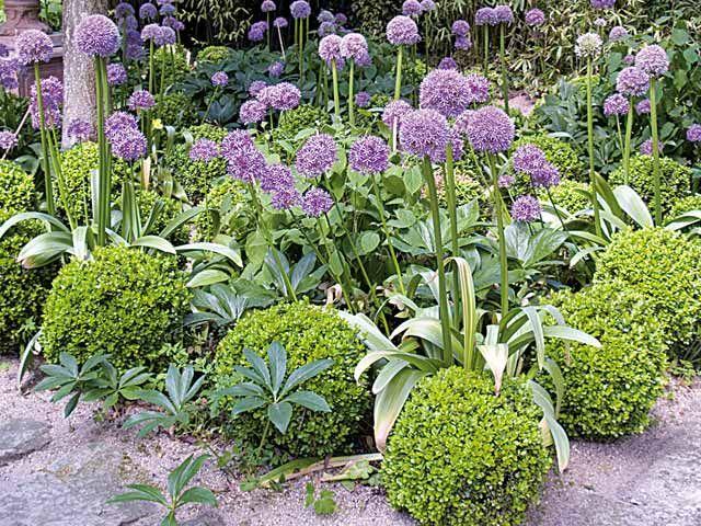 Associer l'ail d'ornement dans les massifs - Alliums et topiaires de buis