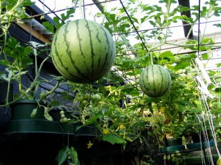 We grow water melon year round in an enclosed greenhouse. As shown here, the vine was trained to creep over the wire mesh and the fruits were well exposed.