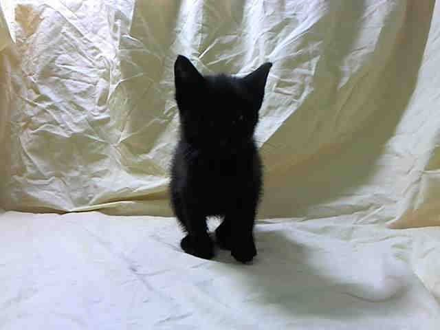 TO BE DESTROYED 5/23/14Manhattan CenterMy name is BOLIVIA. My Animal ID # is A1000241.I am a female black domestic sh mix. The shelter thinks I am about 9 WEEKS old.I came in the shelter as a STRAY on 05/18/2014 from NY 10457, owner surrender reason stated was STRAY. I came in with Group/Litter #K14-177852.MOST RECENT MEDICAL INFORMATION AND WEIGHT05/22/2014 Exam Type OBSERVATION - Medical Rating is 4 C - SEVERE CONDITIONS , Behavior Rating is BEGINNER, Weight 1.2 LBS.VERY GOOD APPETITE SEEN…