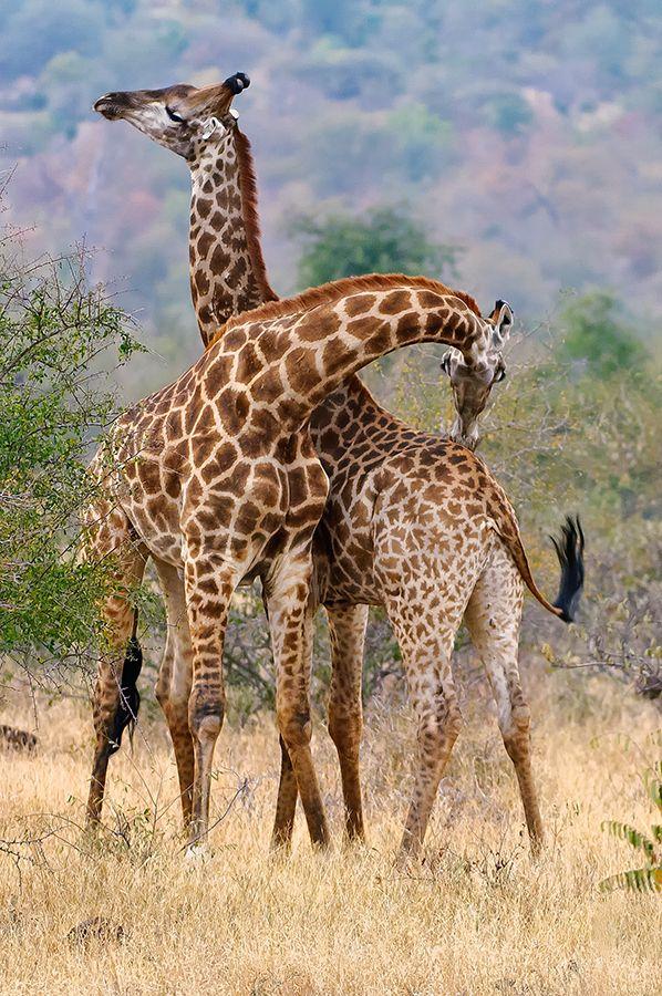 Necking Giraffes by Christopher R. Gray*