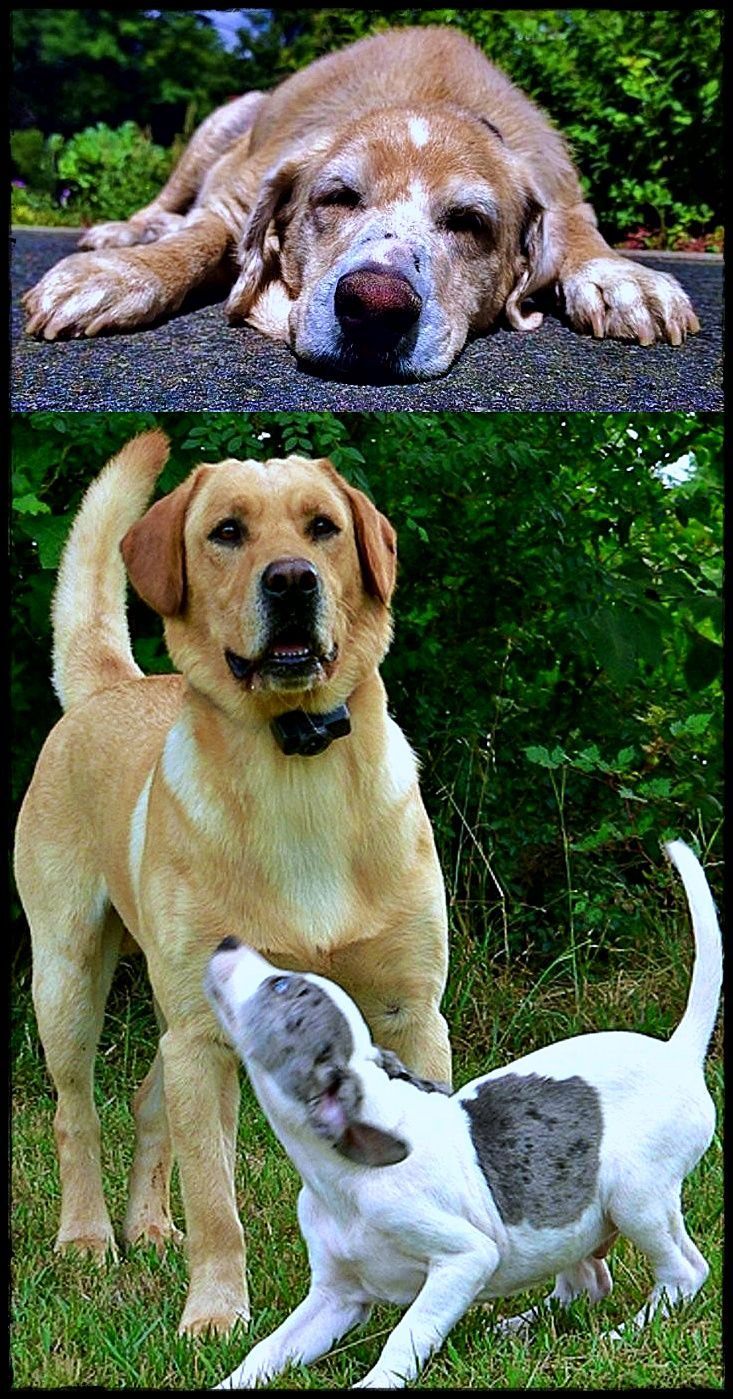 Labrador Cross Springer Spaniel Getting Ideas About