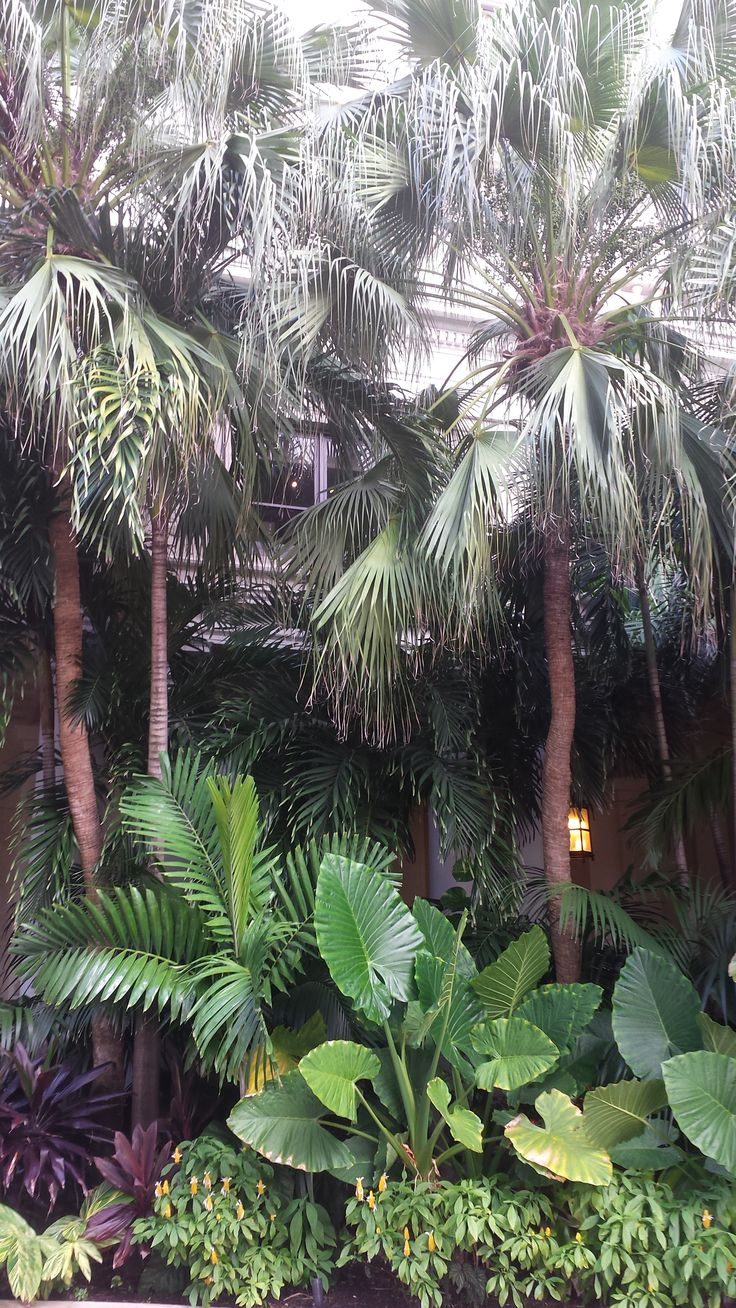 Chinese Fan palms the largest in view with a backdrop of Alexander  Solitaire…