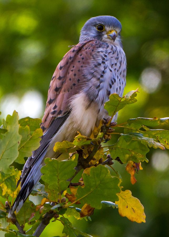 Kestrel - Falco tinnunculus by Simon Davey*