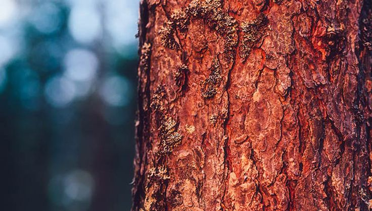 PINE BARK The thick bark of the pine tree yields a powerful skincare ingredient. Made potent by the Arctic light cycle and harsh climate, Nordic pine bark is rich in compounds that have a strong antioxidant effect, taking care of and restoring skin. Experience this Arctic reawakening in our nurturing products. #lumene