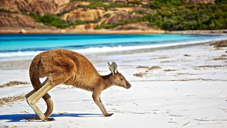 Kangaroo at Lucky Bay, Esperance - Best beaches in Australia to visit!
