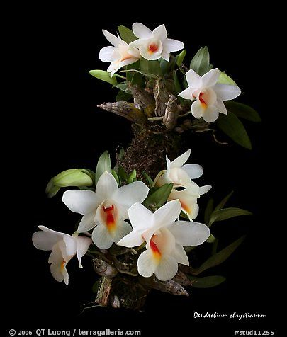 Dendrobium chrystianum. A species orchid (color)