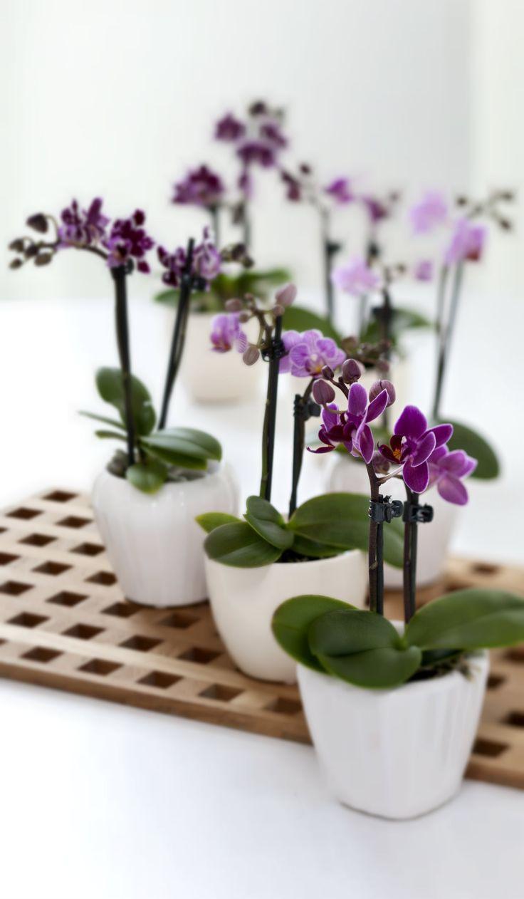 Fine miniorkidéer kan de fleste planteelskere slet ikke kan stå for. #orkide #miniorkide #blomstrendestueplanter #phalaenopsis #orchid #miniorchid #plantorama