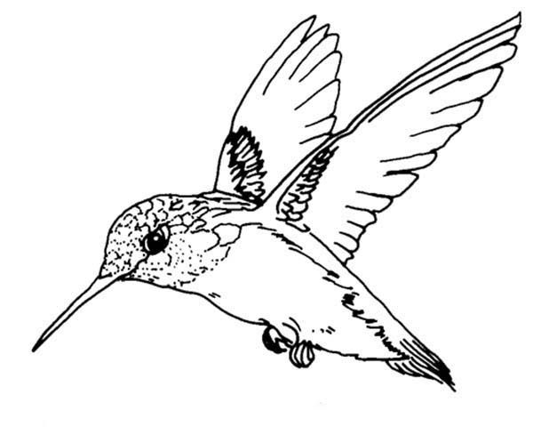 Birds, : Ruby Throated Hummingbird Bird Coloring Page