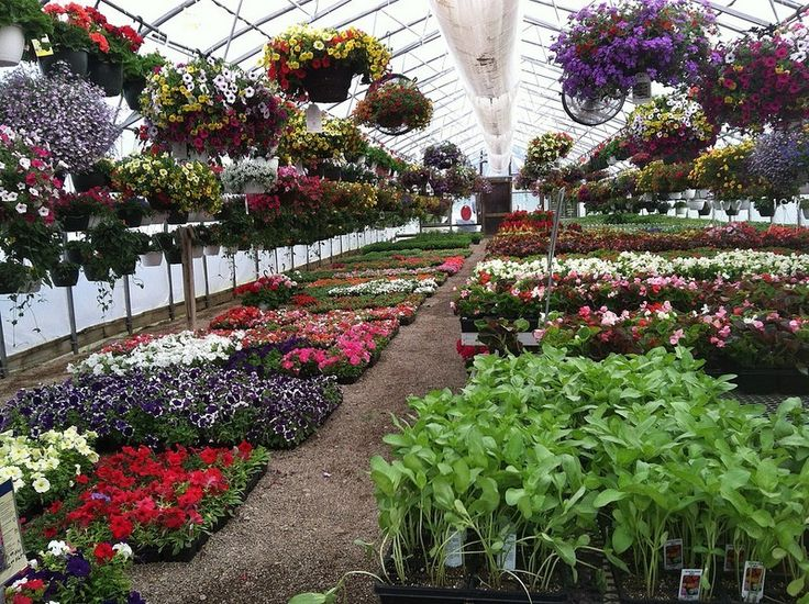 Growing plants in a greenhouse can be rewarding for the home gardener. Suitable plants are available for every kind of greenhouse and climate. Learn more greenhouse plants in this article.