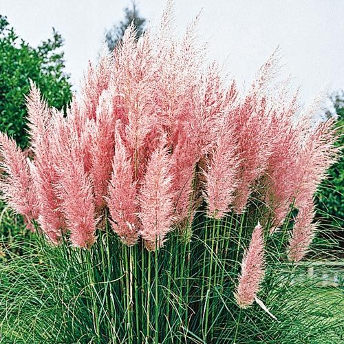 Pin by claudia amparan on ideas for my home one day for Ornamental grass with pink flowers