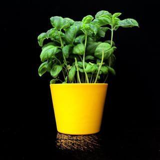 Albahaca. | 16 Plantas para sembrar y cocinar en casa