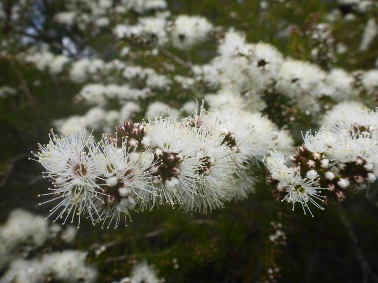 Kunzea, botanic name kunzea ambigua, flowering in north east Tasmania