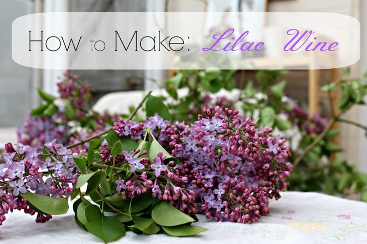 Making Lilac Wine | And Here We AreAnd Here We Are