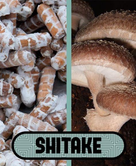 A FunGrow! oferece buchas de micélio de cogumelos comestíveis e medicinais, que irão facilitar seu cultivo de cogumelos em toras de madeira.